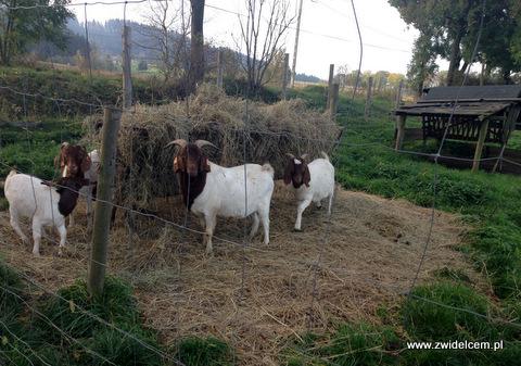 Krzeszów - Wańczykówka - znowu kozy