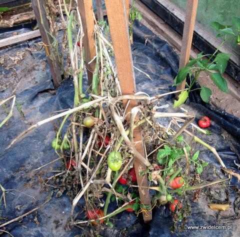12-IKrzeszów - Wańczykówka - pomidory