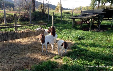 Krzeszów - Wańczykówka - kozy
