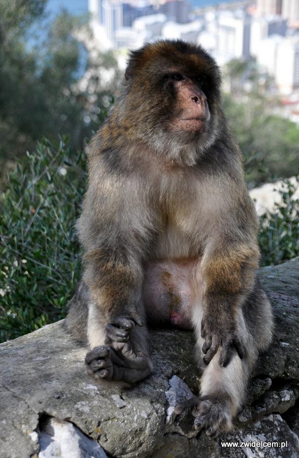 Hiszpania - Gibraltar - makak