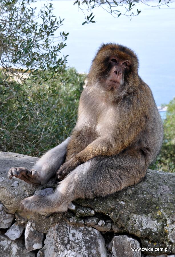 Hiszpania - Gibraltar - makak na murku