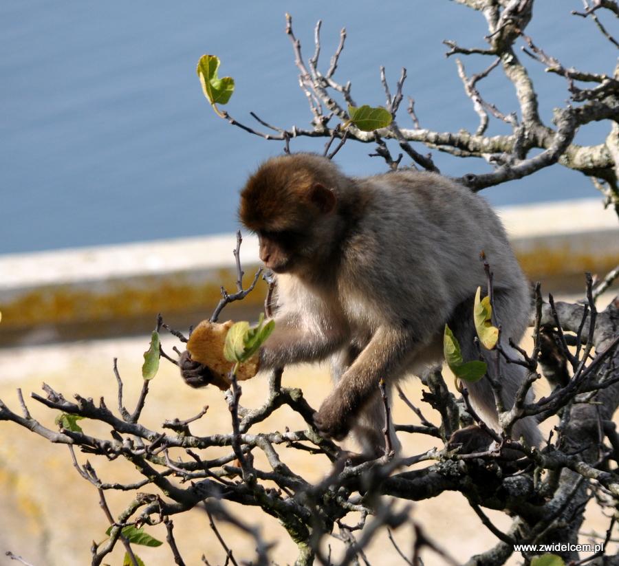 Hiszpania - Gibraltar - makak z bułką