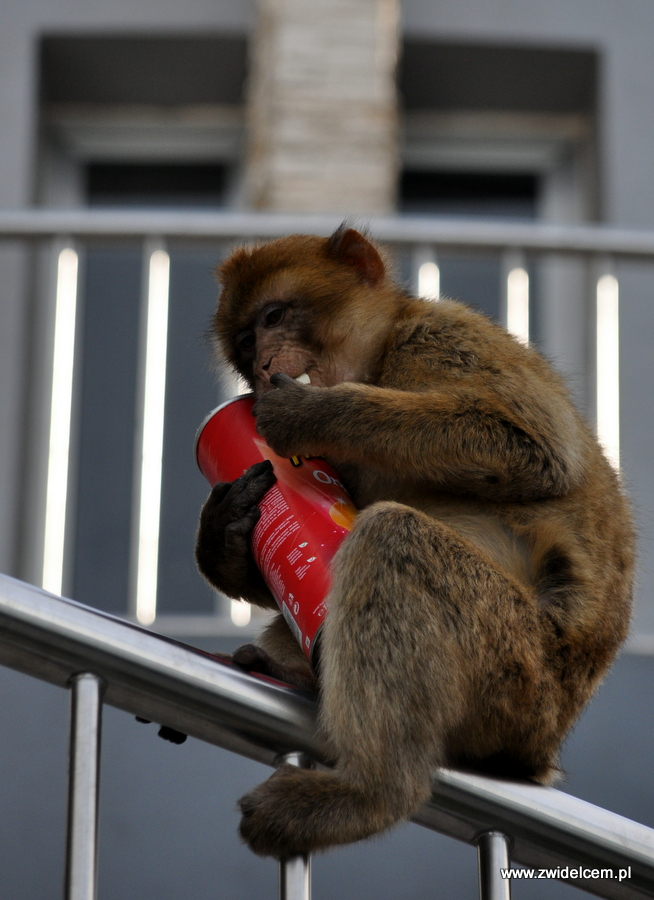 Hiszpania - Gibraltar - makak z Pringles
