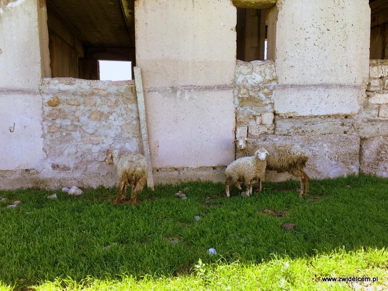 Gruzja - Udabno owce
