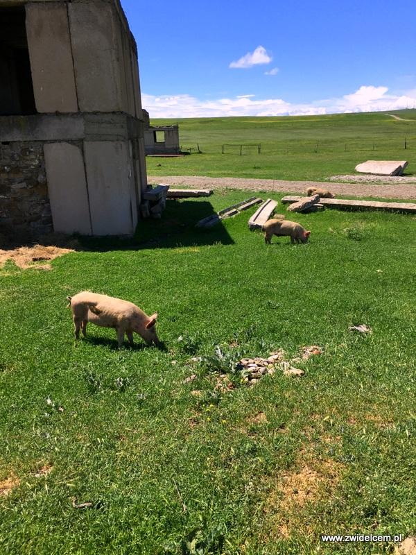 Gruzja - Udabno - świnie